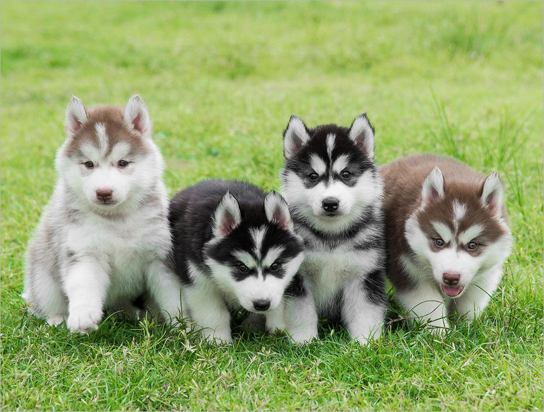 Nên lựa chọn giống chó cảnh nào? Giá của các giống chó cảnh